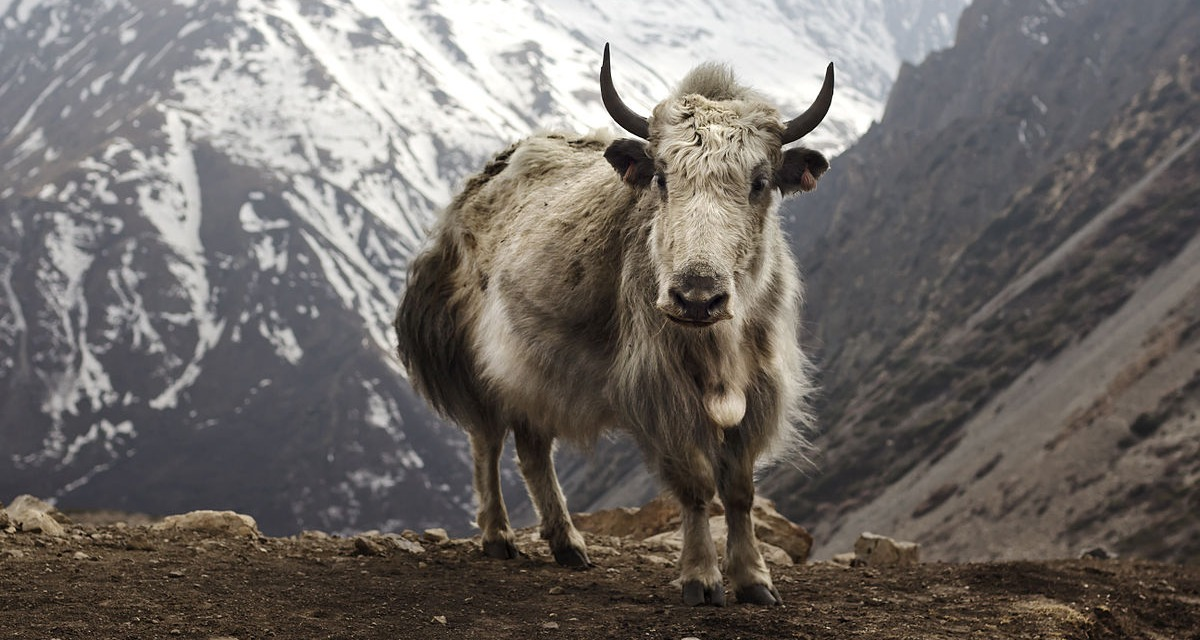 1200px-Bos_grunniens_at_Letdar_on_Annapurna_Circuit